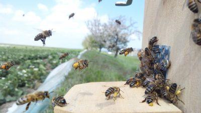 Der Tanz der Honigbienen: Hummeln und Wildbienen fliegen auf Erdbeeren