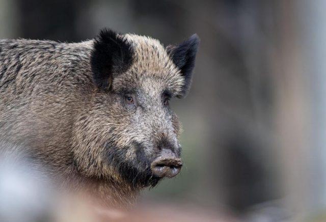Bestätigt: Afrikanische Schweinepest ist in Deutschland angekommen