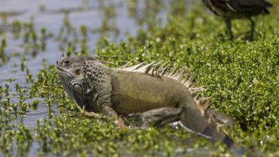 Wetter in Florida: Mit fallenden Temperaturen kommen fallende Leguane