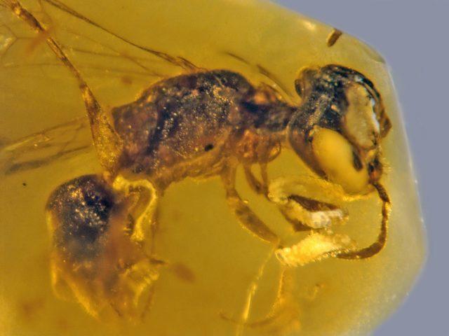 Biene mit vier Parasiten