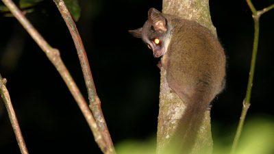 Winzig und nachtaktiv: Erstmals seltene Zwerggalago-Art in Kenia gefilmt