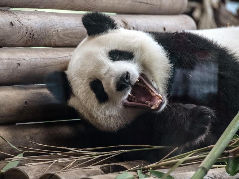 Erstmals Panda-Nachwuchs in Singapur