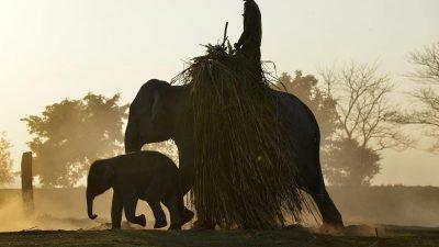 Tierschutz: Asiatische Elefanten, Hochseehaie und Jaguare erhalten höheren Schutzstatus