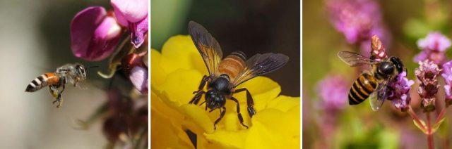 Forscher haben Tanzdialekte von Honigbienen untersucht