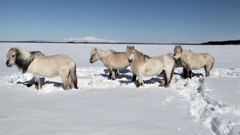 Pferde und Huftiere können den Permafrost retten