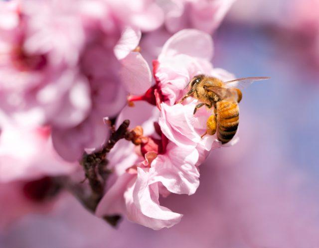 Honigbiene an einer Kirschblüte