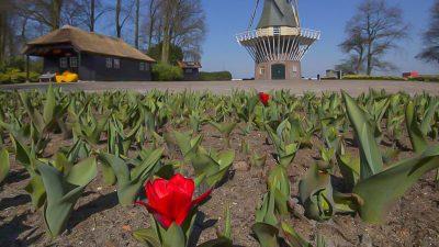 Tulpen für die Tonne: Händler in der Existenzkrise – Blumen landen massenweise im Müll