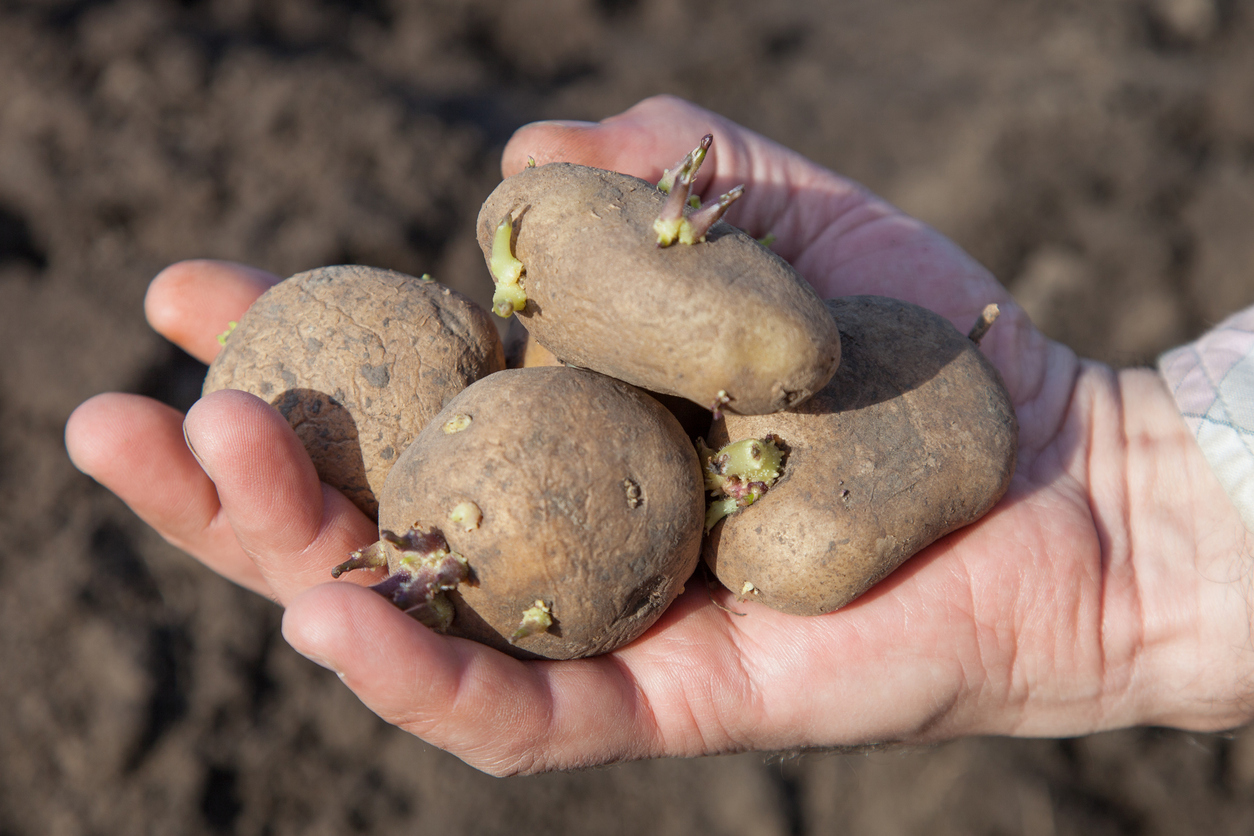 Kann man gekeimte kartoffeln noch essen