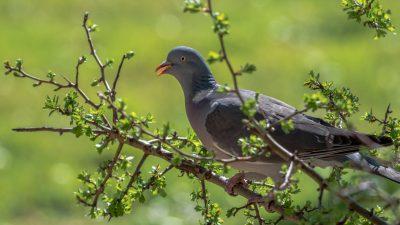 Klassik des Tages: Die wilde Taube von Dvořák