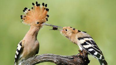 Artenvielfalt in BaWü: BUND kürt Wiedehopf-Paar zum Sieger