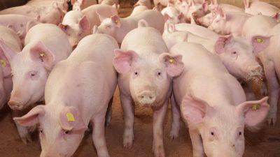 Bauernverband fürchtet Preisverfall bei Schweinefleisch wegen Tönnies-Schließung