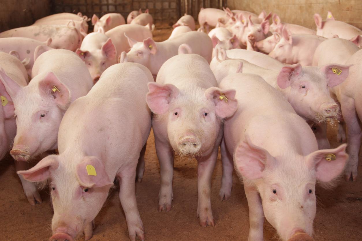 Hilferuf an die Politik: Wachsender Schweinestau droht in Tierschutzkatastrophe zu enden