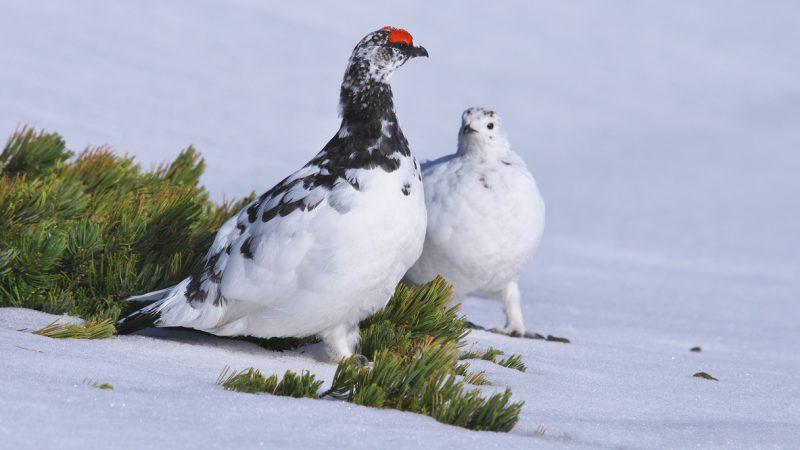 Alpenschneehühner sind Spezialisten im Einsparen von Energie