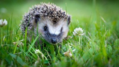 Wettlauf gewonnen: Igel ist Gartentier des Jahres 2020
