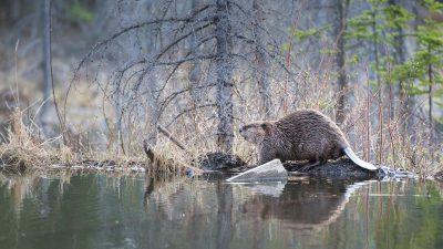 """Biber, Eichhörnchen & Co.: Mehr """"Öko-Ingenieure"""" helfen dem Artenschutz"""