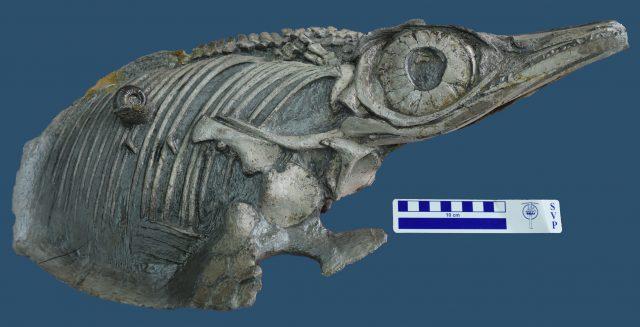 """Fischsaurier """"Hauffiopteryx altera"""""""