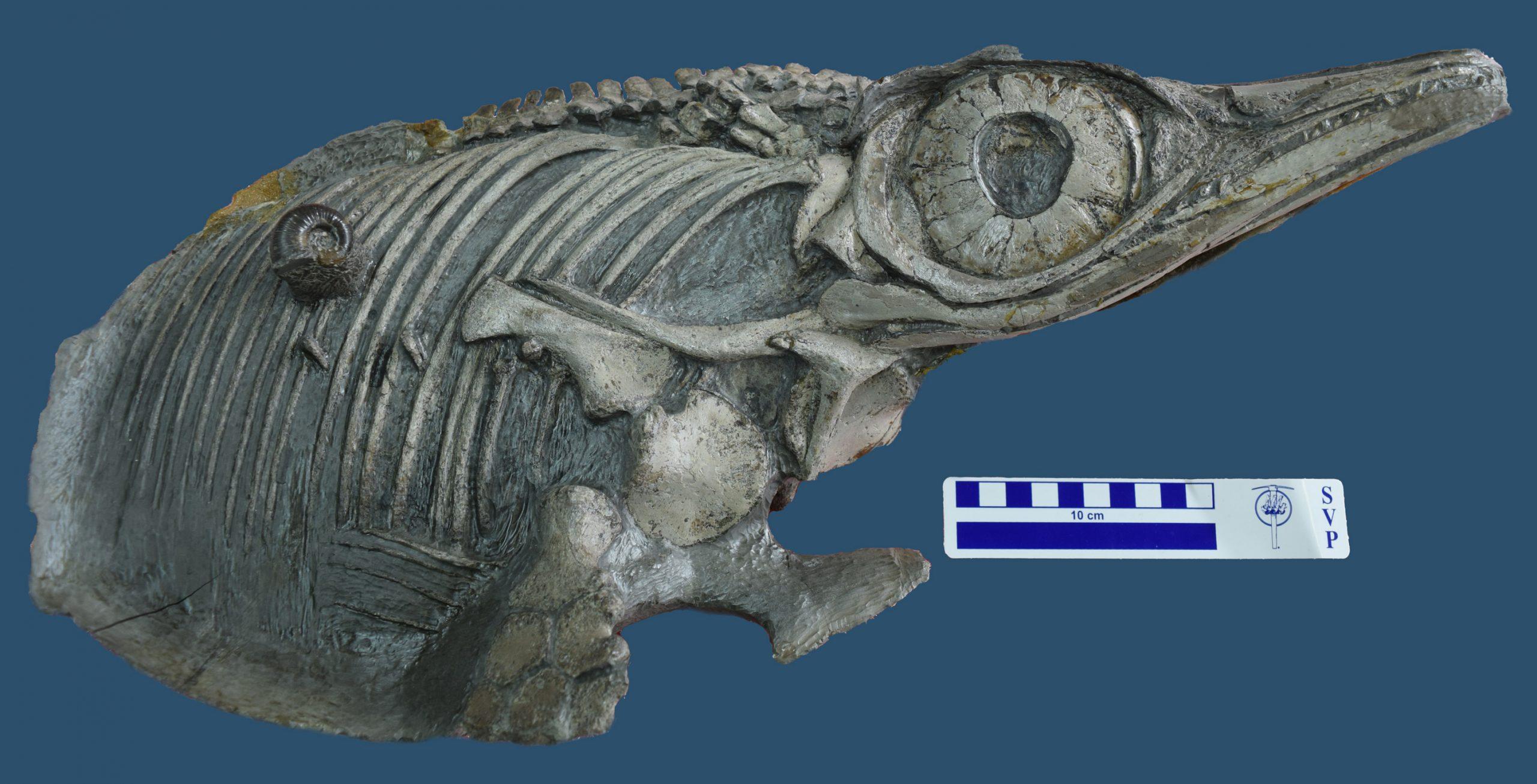 Neue Fischsaurier-Art aus dem südwestdeutschen Jurameer identifiziert