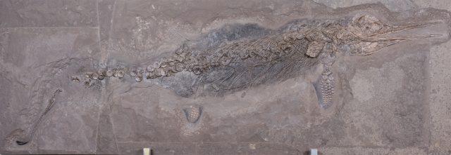 Fischsaurier Hauffiopteryx typicus