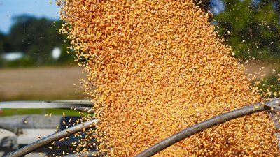 Nahrungsmittelknappheit: China kauft Rekordmengen an US-Mais und -Weizen