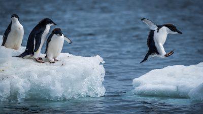 Mit weniger Eis glücklicher: Pinguine lebten vor 30 Millionen Jahren auch auf der Nordhalbkugel