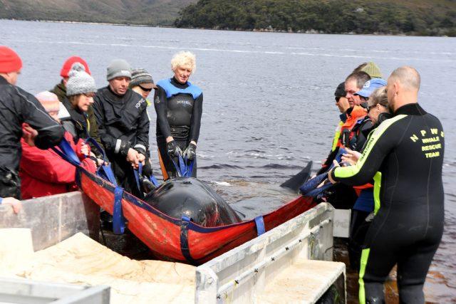 Massenstrandung vor Tasmanien: Von 470 Walen 110 gerettet