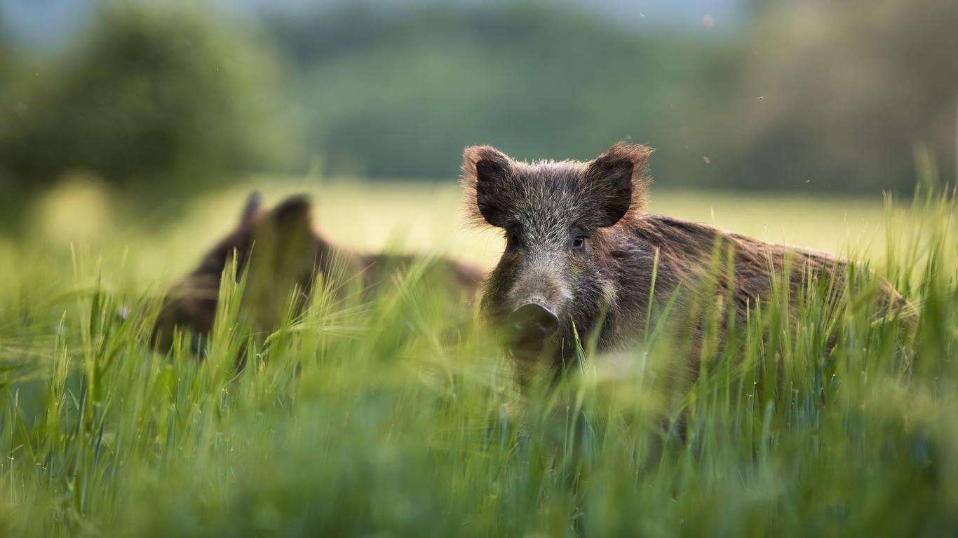 Dauer der Schweinepest ungewiss – Forderung nach festem Schutzzaun zu Polen