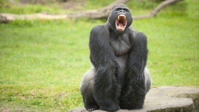 Rätsel um Gorilla-Attacke im Zoo von Madrid