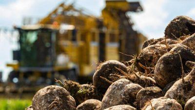 Zuckerbranche unter Druck: Viele Bauern geben Rübenanbau auf