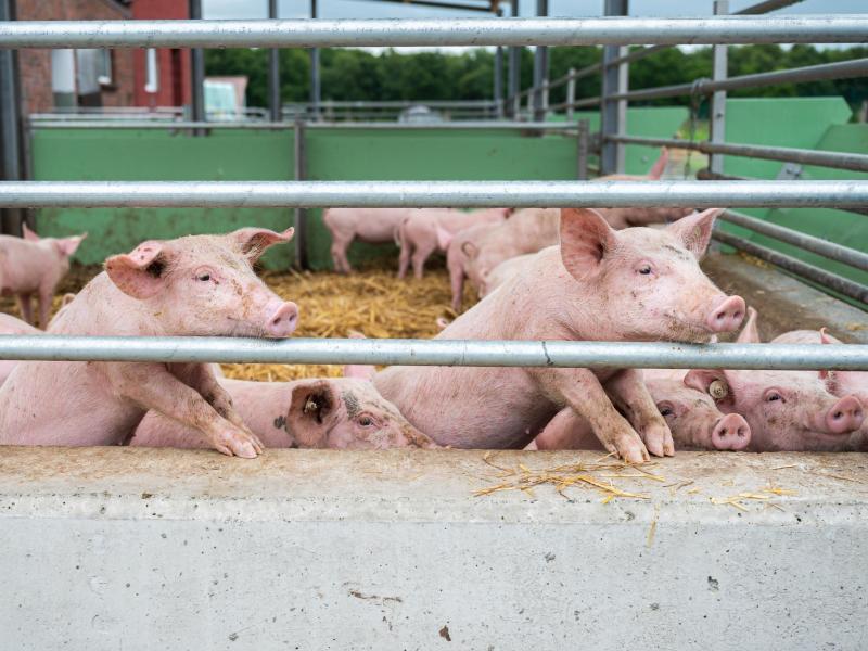 China verbietet Import von deutschem Schweinefleisch