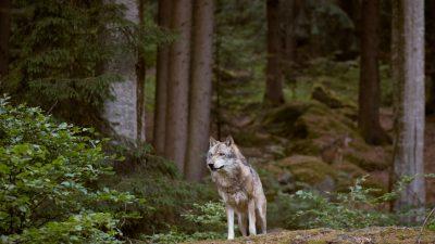 Wolf-Population in Deutschland weiter gewachsen