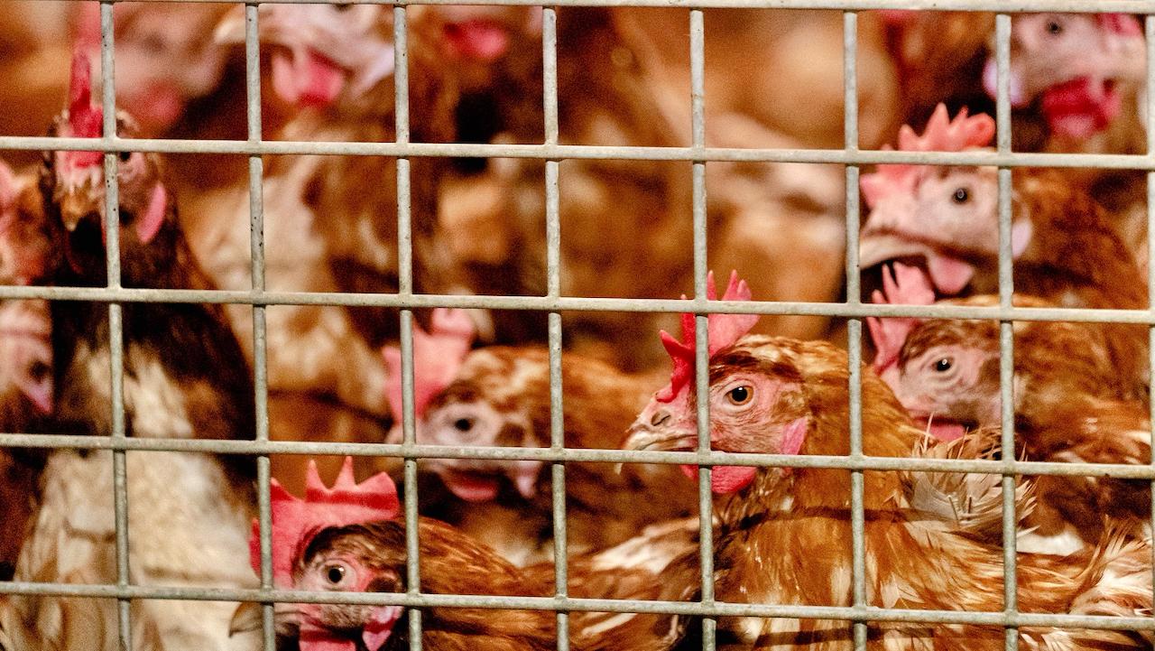 Mehrere Fälle der Vogelgrippe in Frankreich und Dänemark entdeckt