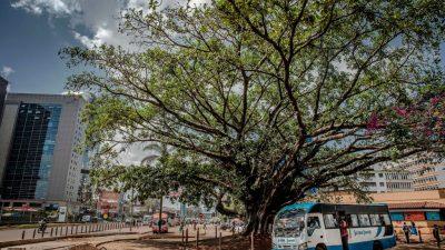 Per Gesetz geschützt: Kenias Präsident rettet hundertjährigen Feigenbaum vor China-Autobahn
