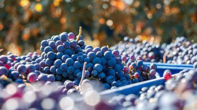Weinbauern haben frühe Eisweinlese begonnen