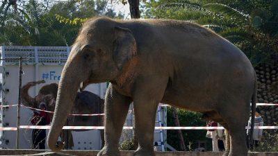 """""""Einsamster Elefant der Welt"""" in Kambodscha gelandet"""