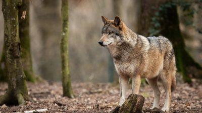 Niedersachsen: Ein Wolfsrudel riss 500 Schafe, Wölfin abgeschossen – Umweltministerin gegen gezielte Dezimierung