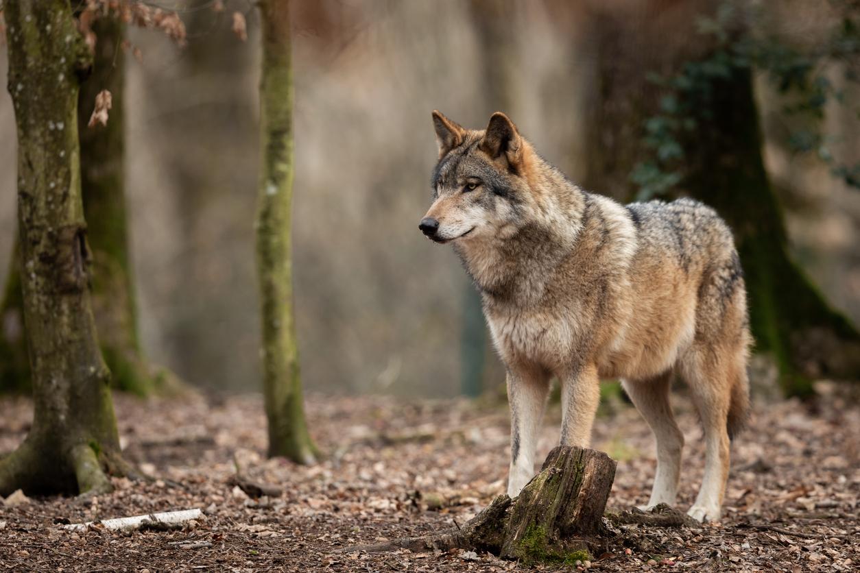 Polizei verfolgt Wolf in Nordhorn