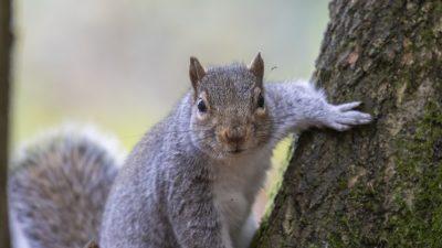Bissige Eichhörnchen greifen Menschen in New York an