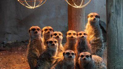 Pinguine, Rentiere und Erdmännchen: Patenschaften für Zootiere