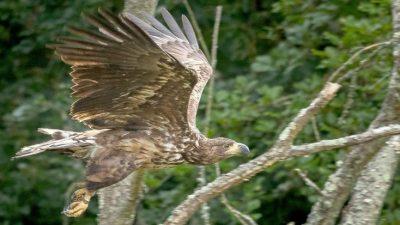 In Südengland wohnen wieder Seeadler