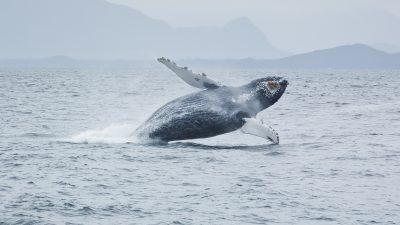 Riesiger Wal-Kadaver vor süditalienischer Küste entdeckt
