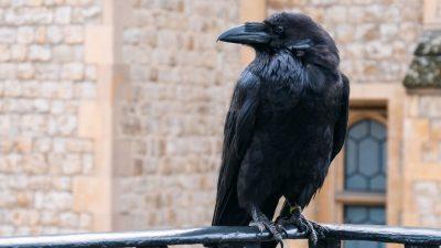 Düsteres Omen für Großbritannien: Einer der Raben im Londoner Tower wird vermisst
