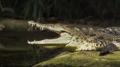 Australier wehrt Krokodil mit bloßen Händen ab