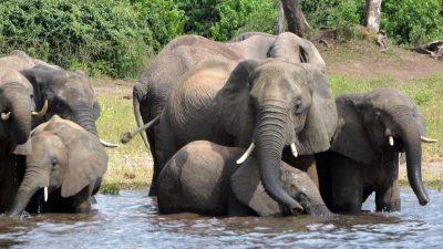 """Elefanten-Herde fliegt in """"Weltpremiere"""" von Großbritannien nach Kenia"""