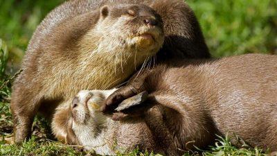 Warum spielen Otter mit Steinen? Projekt in Tübingen
