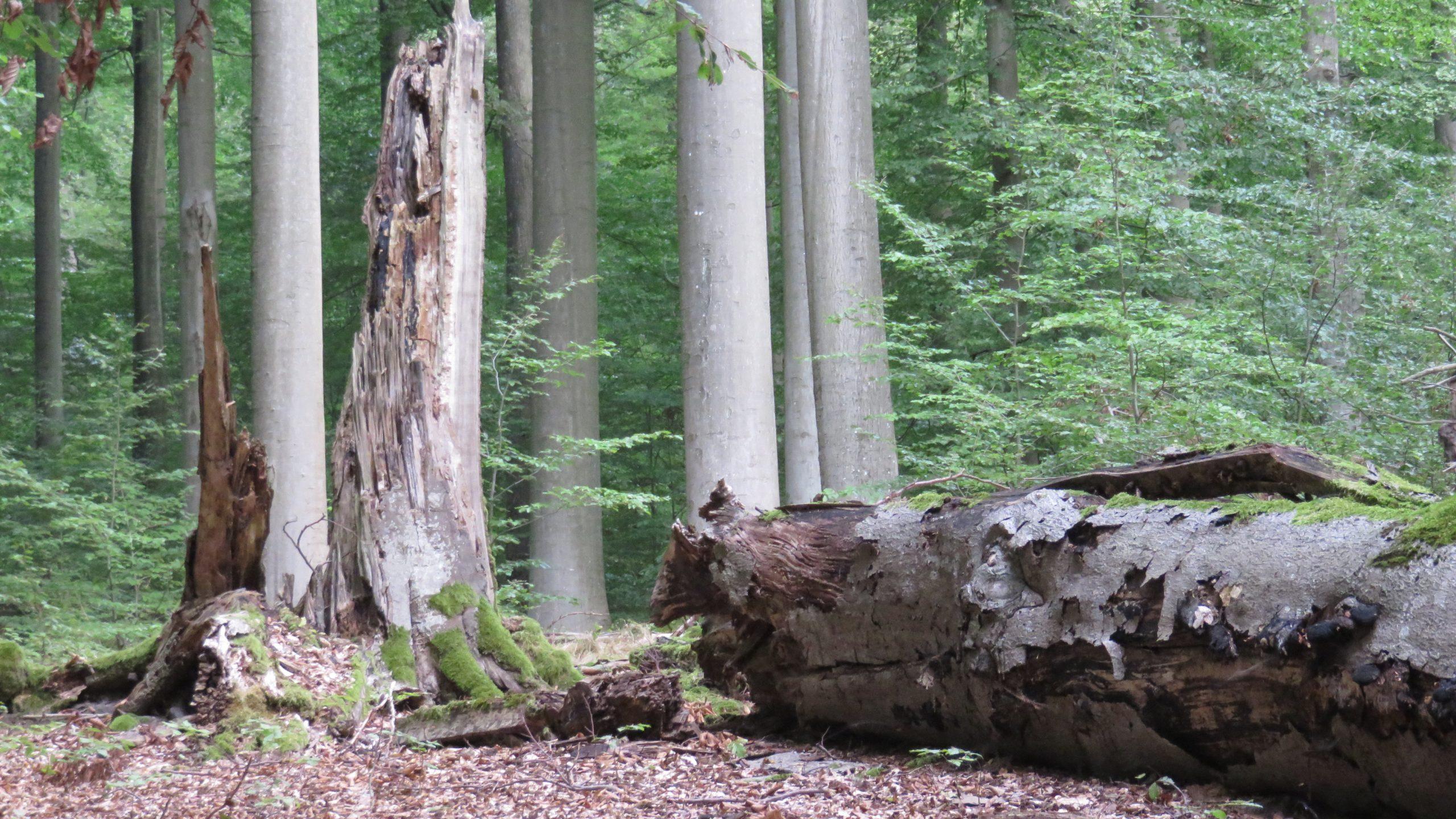 """""""Dramatisch wie nie"""": BUND fordert mehr Waldwildnis und Schutz alter Wälder"""