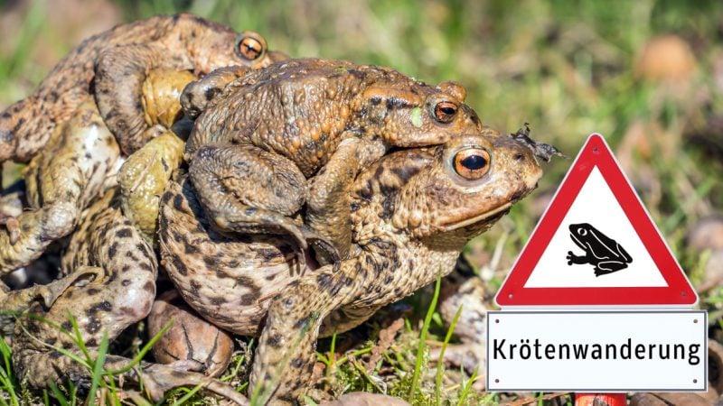 Frösche und Kröten auf Wanderschaft