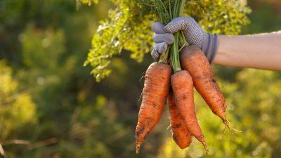 Gleiche Gemüsemenge bei weniger Betrieben – Rekord bei Kartoffelernte