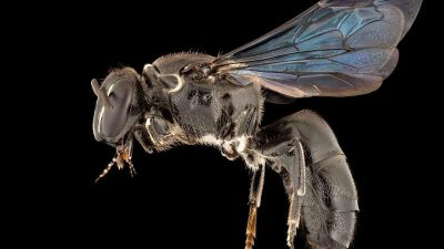 100 Jahre verschollene Bienenart in Australien entdeckt