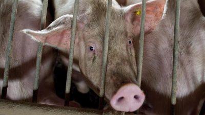 Afrikanische Schweinepest in mehreren Regionen Chinas ausgebrochen