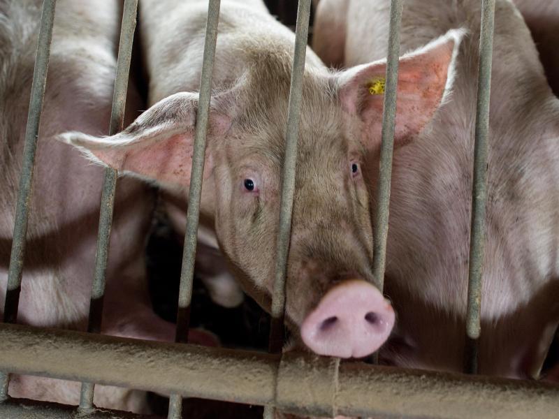 Klöckner: Tote Rinder und Schweine auf Tierschutzverstöße prüfen